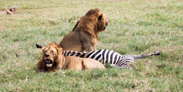 Lavovi i zebra
